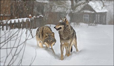 Документальный фильм - Волки Чернобыля